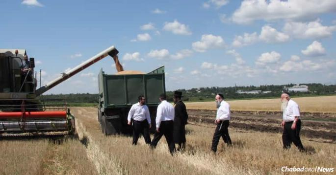 "Harvesting shmura, ""guarded"" wheat from fields surrounding Dnepropetrovsk to be ground into flour for matzah. Rabbi Mordechai Shmuel Ashkenazi, the longtime chief rabbi of Kfar Chabad who passed away in January, 2015, is on the far right. Rabbi Shmuel Kaminezki, the chief rabbi of Dnepropetrovsk, walks ahead of him. (Photo: DJC.com.ua)"