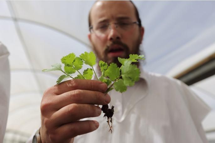 A mashgiach inspects for bugs in leafy greens. Photo: Yaakov Naumi/FLASH90
