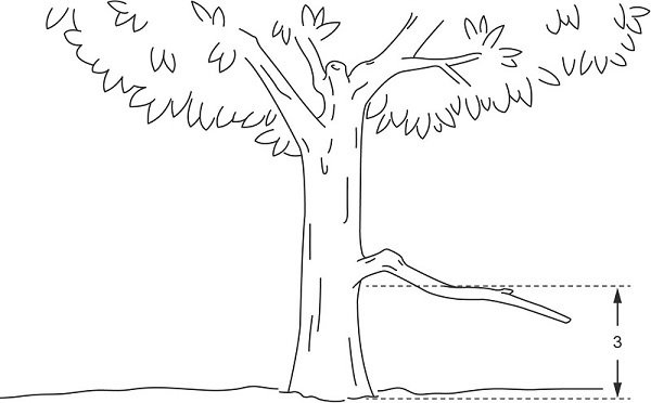 Fig. 1: A tree with a branch that begins more than three handbreadths above the ground but descends lower