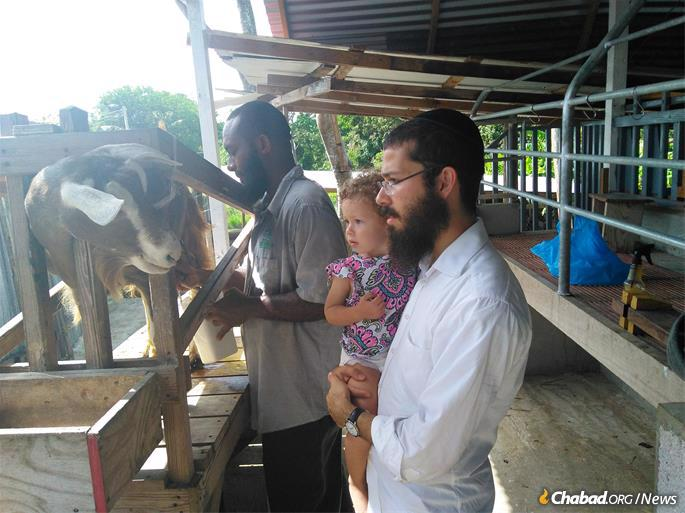 Obtaining kosher milk entails a cross-island trek to a friendly goat farm, where the rabbi (and his daughter) can oversee the milking process.