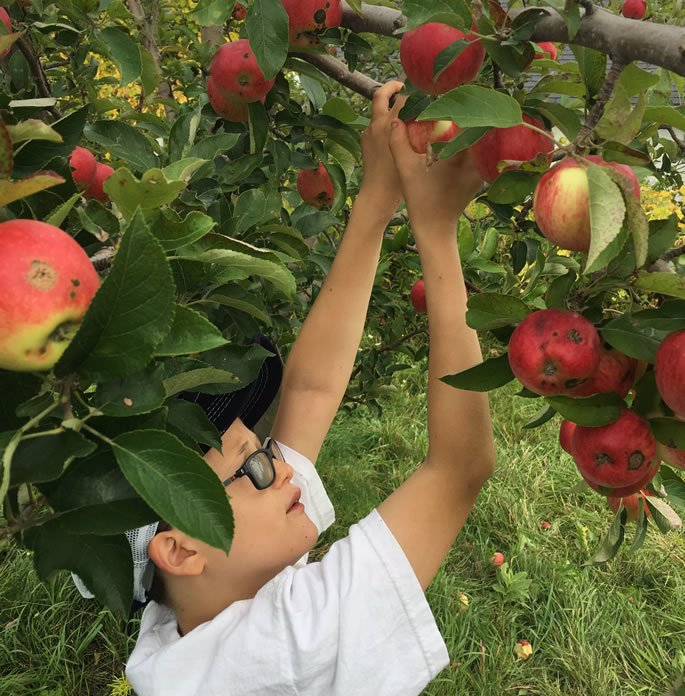 My son, picking apples.