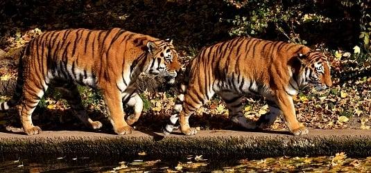 tiger-2979932 small.jpg