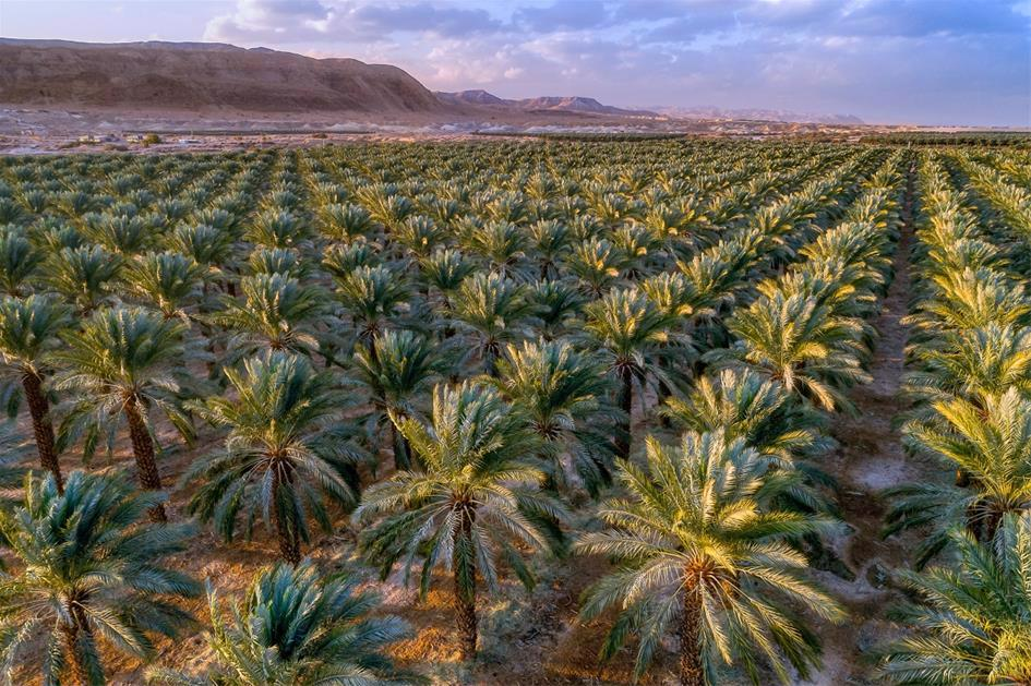 A cash crop even today, in antiquity, date palms provided food, shelter, shade, medicine — and became a symbol of Judea.
