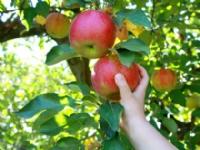 PreRosh Hashanah Apple Picking