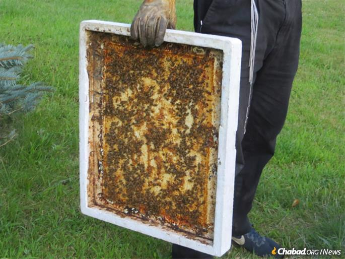 Bees by the thousands are unperturbed and busy at work. (Photo: Carin M. Smilk)