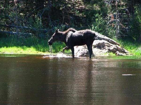 """Shaina"" the moose. ©Daniel Feld"