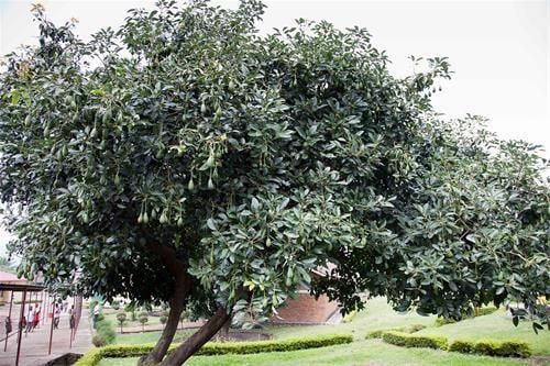 עץ אבוקדו עם פירות