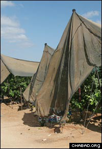 Nets covering the orchards protect workers and fruit from the sun. (Photo: Y. Belinko)