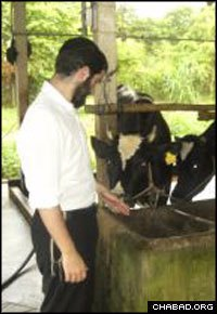 A rabbinical student in Vietnam supervises milking operations at a dairy farm in order to provide special kosher milk to Jewish tourists in Ho Chi Minh City for the fall holidays.