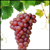 Learn about Grapes