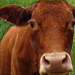 The 5 Strengths of the Red Cow