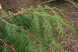 Western cedar is a popular choice for sechach in temperate zones.