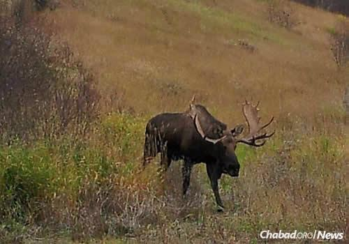 Miller took this shot of a moose wandering in his backyard. He and his brother work together on a small, heavy-machinery business.