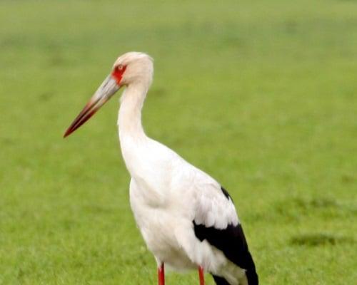 חסידה. צילום: Maguari Stork, פליקר