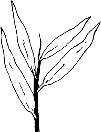 Fig. 25: The leaves of the willow have smooth edges (see sec. 647:1).