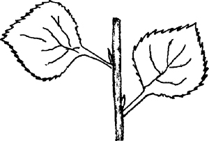 Fig. 26: The leaves of the tzaftzafah are conspicuously serrated, like a saw (see sec. 647:3).
